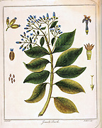 Cinchona (Jesuit's or Peruvian Bark). Source of quinine. Used as febrifuge, particularly in treatment of malaria. Hand-coloured engraving,  London 1795