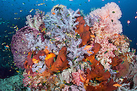 Reef Bommie loaded with colorful Soft Corals and reef fish<br /> <br /> Shot in Indonesia