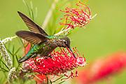 Annas Hummingbird (Calypte anna) sipping at a Grevillia plant