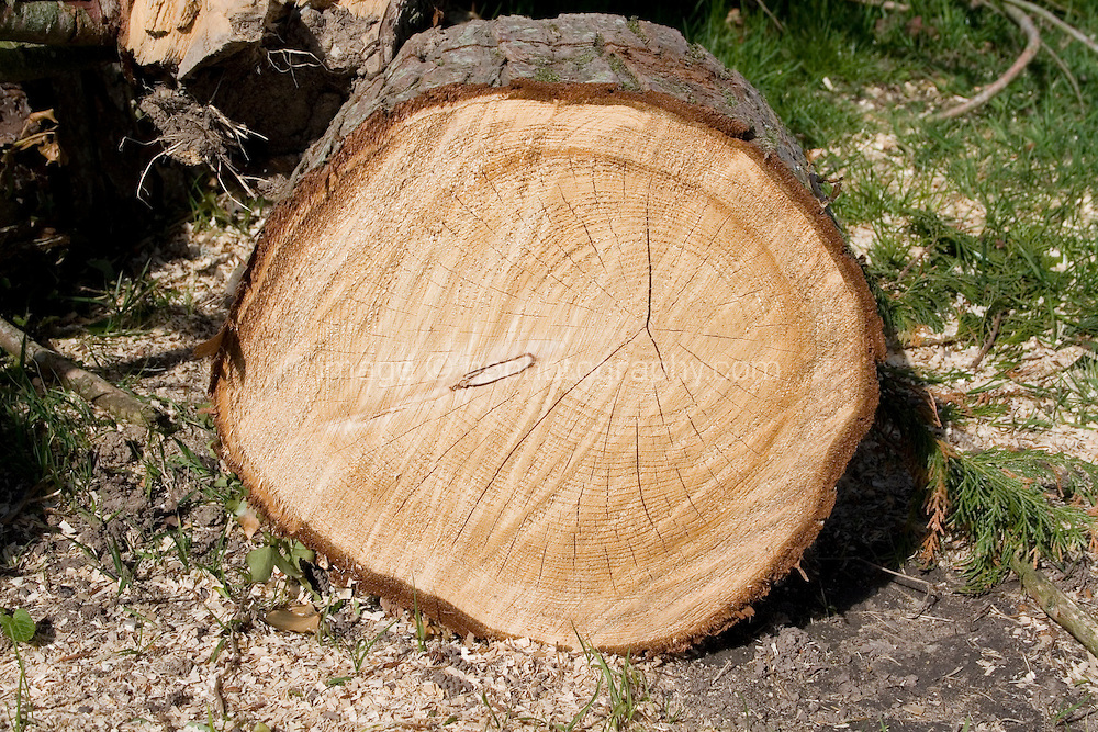 Slice of tree cut down on farm in Wexford Ireland