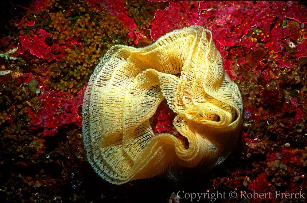 UNDERWATER MARINE LIFE EAST PACIFIC: Northeast SNAILS: Sea slug egg mass