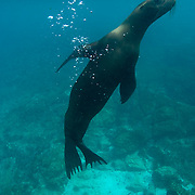 Galapagos Sea Lion (Zalophus californianus) swims and pauses upright like he is standing. Galapagos, Ecuador.