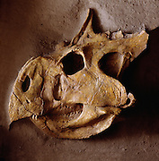 Protoceratops skull in the Ulan Bator State Museum in Mongolia.  Protoceratops was a four-legged plant-eater about six feet long (1.8 m).