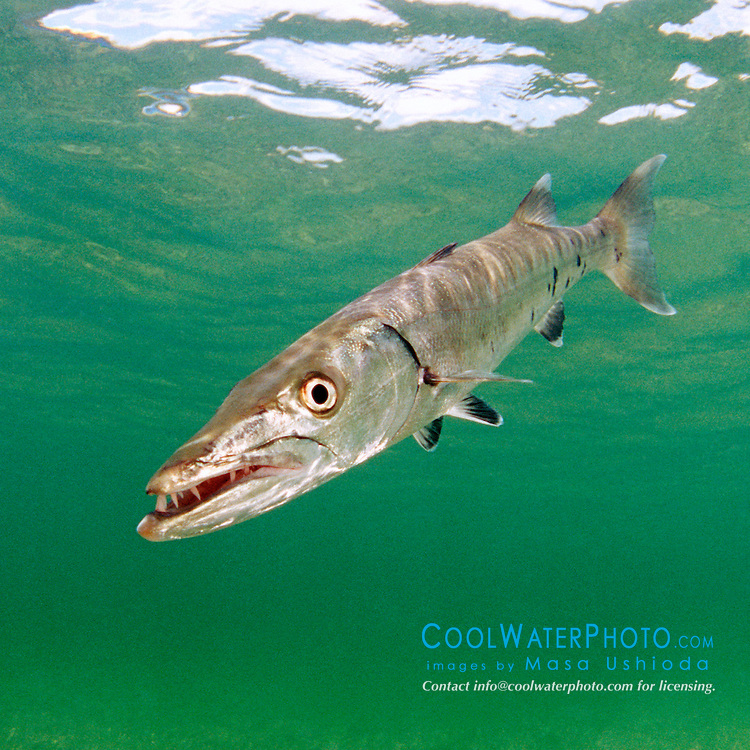 great barracuda, .Sphyraena barracuda, .Lewis Cut, Biscayne National Park, .Florida (Atlantic)