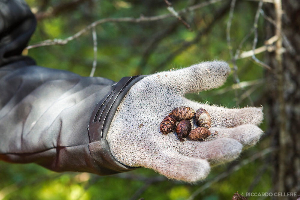 Corporate photography. Pine cones in gloved hand. 2013.