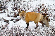 01871-02814 Red Fox (Vulpes vulpes) in snow in winter, Churchill Wildlife Management Area, Churchill, MB Canada