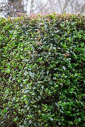 Hedge of Viburnum tinus syn. Viburnum laurustinus