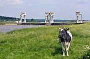 Nederland, Driel, 16-5-2018De sluis en stuw bij Driel en Arnhem in de rivier de Rijn, nederrijn. Met een stuw wordt de waterstand in een rivier geregeld. De sluis ernaast zorgt dat schepen toch het hoogteverschil kunnen overbruggen. Op de voorgrond een koe in de uiterwaarden .Foto: Flip Franssen
