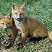 Red Fox (Vulpus fulva).  Young kits sit near a den entrance during the summer in Montana.