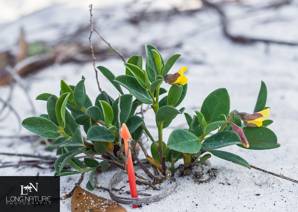 Crotalaria avonensis with location pin