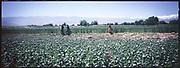 The poppy field in Jalalabad.