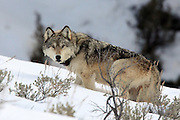Gray Wolf Wearing Radio Telemetry Collar