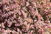 Close up of pink red prostrate succulent plant Mesembryanthemum nodiflorum, La Isleta,  Lanzarote, Canary islands, Spain