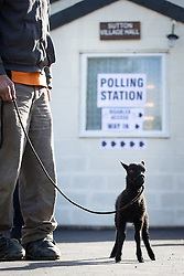 """© Licensed to London News Pictures . 07/05/2015 . Doncaster , UK . Judith and Eric Preston with their Shetland Lamb """" Beth """" , voting at Sutton Village Hall polling station in Ed Miliband's constituency of Doncaster North . Photo credit : Joel Goodman/LNP"""