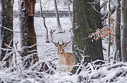 © Licensed to London News Pictures 07/02/2021.        Sevenoaks, UK. A stag sheltering in woodland from the snow. Freezing cold snowy weather at Knole Park in Sevenoaks, Kent. Photo credit:Grant Falvey/LNP