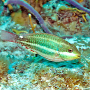 Redband Parrotfish swim about reefs and adjacent areas scrapping filamenmtous algae from hard substrates in Tropical West Atlantic; picture taken Key Largo, FL.