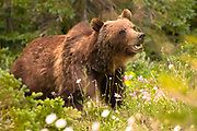 Grizzly Bear in Glacir National Park, Montana.