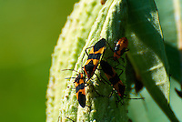 Large Milkweed Bugs on a Milkweed Seedpod. Summer Nature in New Jersey. Image taken with a Nikon 1 V1 +  FT1 + 70-30 mm VR lens (ISO 100, 300 mm, f/5.6, 1/400 sec) and monopod. [FOV Equivalent to ~ 810 mm on a 35 mm image sensor]..