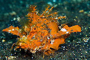 Rare orange variety of the Spiny Devilfish (Inimicus didactylus) photographed in Lembeh Strait, Indonesia. Part of the scorpionfish family, the devilfish lives only in the tropical Pacific Ocean can deliver a painful and venomous sting with its dorsal fins.