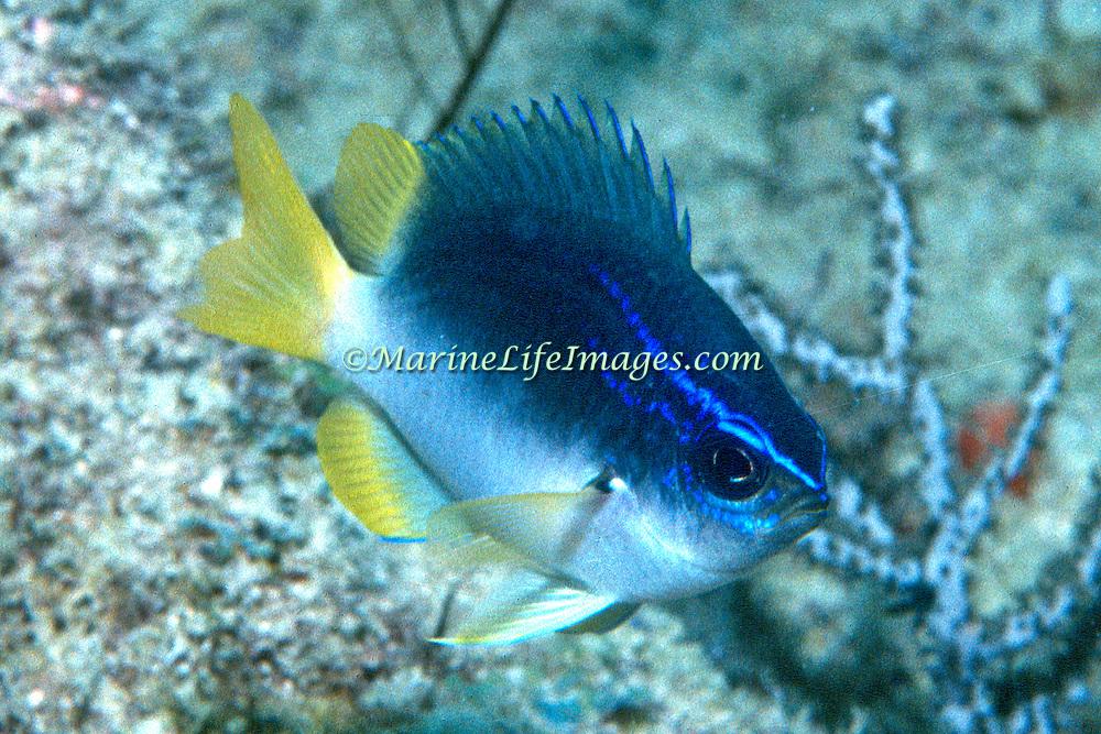 Yellowtail Reeffish inhabit deep reef tops in Tropical West Atlantic; pictue taken Palm Beach,  FL.