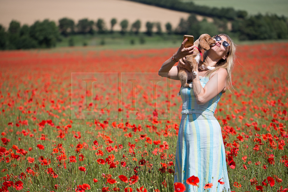 © Licensed to London News Pictures. 07/07/2017. Eynsford, UK. Londoner Elizabeth Cooper pictured enjoying beautiful Kent poppies on a sunny summer morning in the village of Eynsford with cockapoo puppy Pip. Photo credit : Rob Powell/LNP
