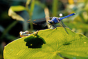 Green Treefrog (Hyla cinerea) and dragonfly.