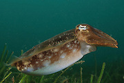 Mourning cuttlefish (Sepia plangon) photographed off southern Australia, Pacific Ocean, Southern Ocean.