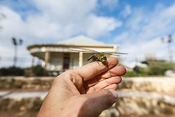 Holding and examining green darner dragonfly in amphitheater,  Mitchell Lake Audubon Center, San Antonio, Texas, USA.