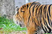 Sumatran tiger (Panthera tigris sumatrae) is a rare tiger subspecies that inhabits the Indonesian island of Sumatra. It has been listed as Critically Endangered on the IUCN Red List in 2008 as the population was estimated at 441 to 679 individuals, with no subpopulation larger than 50 individuals and a declining trend. Photographed in captivity
