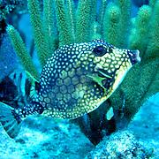 Smooth Trunkfish swim above and around reefs Tropical West Atlantic; picture taken Roatan, Honduras.