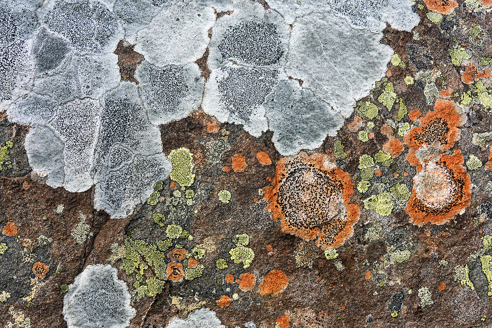 Lichen on granite boulders, South Ridge trail of Cadillac Mountain, Acadia National Park, Maine. Possibly Lecidea lithophila, Rhizocarpon geographicum, and Rhizocarpon disporum.