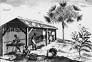Scene on an American tobacco plantation. From A Pomet 'A Compleat History of Drugs'  London 1725. First edition French. Pomet physician to Louis XIV.  Male, female and child slaves rolling dried tobacco into ropes On right is Tobacco plant (Nicotiana tabacum).  Engraving