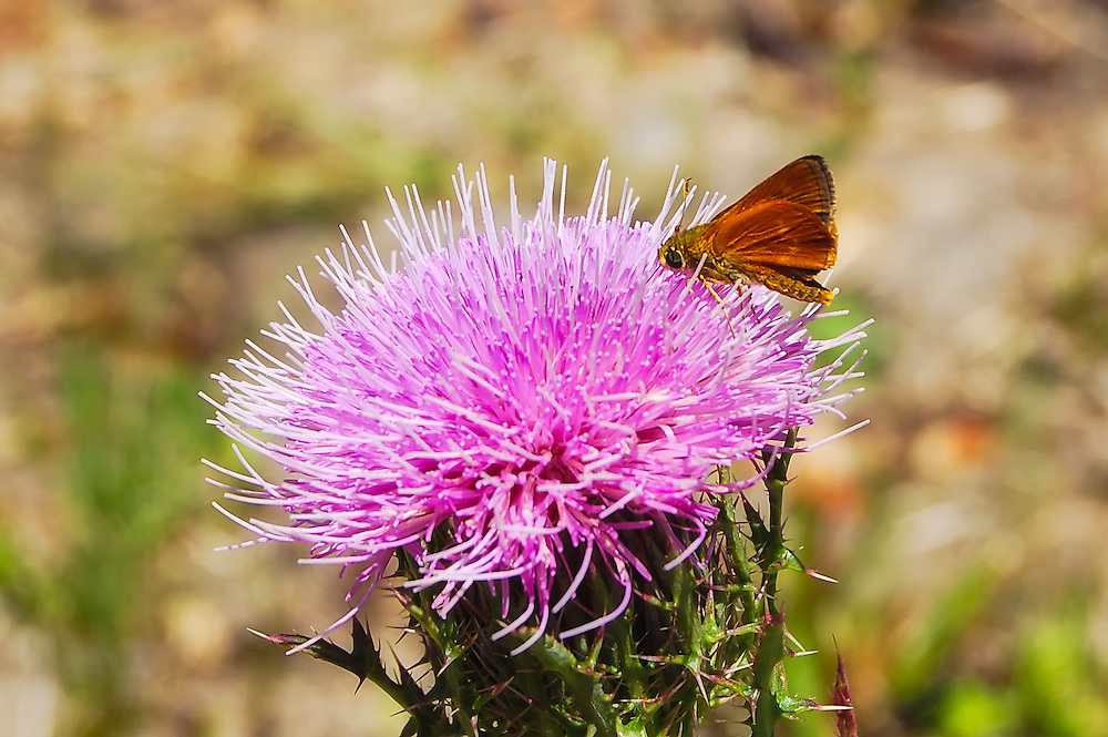 A southern broken-dash skipper feeding on a thistle flower in the Kissimmee Prairie Preserve in Okeechobee County, Florida.