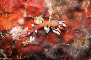 Much Desired Flabellina Nudibranch (Flabellina exoptata) on tropical coral reef - Agincourt reef, Great Barrier Reef, Queensland, Australia. <br /> <br /> Editions:- Open Edition Print / Stock Image