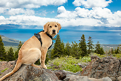 """""""Puppy Above Lake Tahoe 3"""" - Photograph of Golden Retriever puppy """"Quill"""" above Lake Tahoe."""