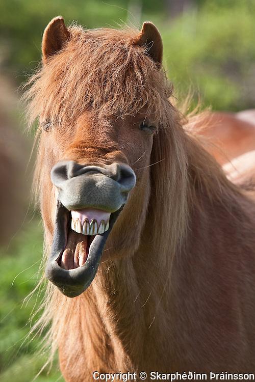 Laughing Icelandic Horse
