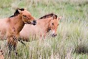 wild horses at the Hustai National park, Mongolia