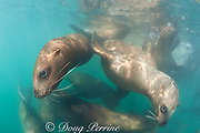 gregarious young Steller's sea lions, or Steller sea lion, or northern sea lion, Eumetopias jubatus (an Endangered Species in the western part of its range, and Threatened in the eastern portion), Glacier Island, Columbia Bay, Alaska ( Prince William Sound )