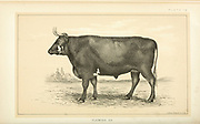 Flemish Ox from Cattle and dairy farming. Published 1887 by Govt. Print. Off. in Washington. United States. Bureau of Foreign Commerce (1854-1903)