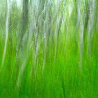 Intentional camera movement fine art photography from the beautiful and inspiring Maine Acadia National Park. The ICM abstraction was captured hand-held along Jesup Path near the Great Meadow and the Wild Gardens of Acadia.<br /> <br /> I am always interested in capturing the day to day in an unusual different way. One technique that I frequently use is intentional camera movement. The right combination of shutter speed, aperture setting and ISO setting will produce the desired blur and an artistic abstract scenery. A long enough shutter speed combined with a smooth move of camera are key ingredients allowing the camera to paint the photographic object in its most abstract forms. <br /> <br /> In this abstract artwork from the scenic Acadia National Park near the Wild Gardens of Acadia I moved the camera vertically during the exposure resulting in this vibrant summer abstract tree painting.<br /> Maine Acadia National Park photos are available as museum quality photography prints, canvas prints, acrylic prints or metal prints. Fine art prints may be framed and matted to the individual liking and decorating needs:<br /> <br /> http://fineartamerica.com/featured/birch-tree-summer-dream-juergen-roth.html<br /> <br /> This abstract photography painting is available as a limited signed edition lightjet photography print, matted and sized to your liking, 1of 1. Inquire at http://www.rothgalleries.com/contact.<br /> <br /> Good light and happy photo making!<br /> <br /> My best,<br /> <br /> Juergen<br /> Licensing: http://www.rothgalleries.com<br /> Photo Prints: http://fineartamerica.com/profiles/juergen-roth.html<br /> Photo Blog: http://whereintheworldisjuergen.blogspot.com<br /> Instagram: https://www.instagram.com/rothgalleries<br /> Twitter: https://twitter.com/naturefineart<br /> Facebook: https://www.facebook.com/naturefineart