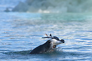 Leopard seals hunting Adelie penguins near Esperanza base in Antarctica.