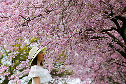 © Licensed to London News Pictures. 22/03/2019. London, UK. A woman poses in front of cherry blossoms in a north London park. Photo credit: Dinendra Haria/LNP