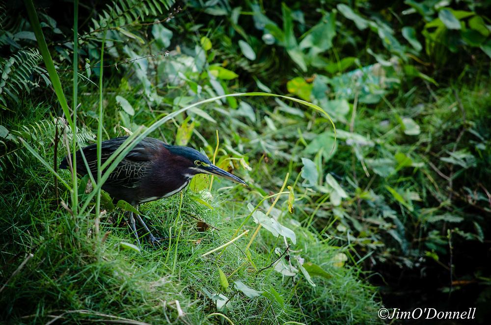 Birds of Cuba as seen in the mountains of Las Terrazas west of Havana.