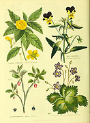 Turnera ulmifolia [Elm Leaved Turnera], Viola Tricolar [Pansy Violet or Heart's Ease], Vaccinum myrtillus [Bilberry or bleaberry] Verbascum myconi [Borage leaved Mullein] from Vol II of the book The universal herbal : or botanical, medical and agricultural dictionary : containing an account of all known plants in the world, arranged according to the Linnean system. Specifying the uses to which they are or may be applied By Thomas Green,  Published in 1816 by Nuttall, Fisher & Co. in Liverpool and Printed at the Caxton Press by H. Fisher