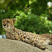 Cheetah chilling on a rock observing the neighbourhood.
