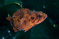 Rockfish, Sebastes koreanus, first scientifically described 1994. Not much data available about this fish. Zhifu Island (Chinese: 芝罘島), Shandong Province, China, by the Bohai Sea, that is the inner part of the Yellow Sea where both the Yellow River and Hai He flow into.<br /> <br /> Conservation: The Yellow Sea is one of the most threatened marine areas on earth. Land reclamation has destructed more than 60% of tidal wetlands in only 50 years. Rapid coastal development for agriculture, aquaculture and industrial.development are primary drivers of coastal destruction in the region. In addition pollution, harmful algal blooms, invasion of introduced species are having a negative effect. There are 25 intentionally introduced species and 9 unintentionally introduced species in the Yellow Sea marine ecosystem.
