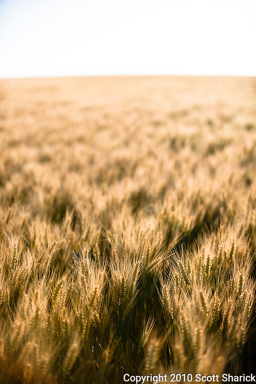 A shallow depth of field focus look at a wheat field in the Palouse Region of Washington State.