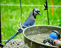 Blue Jay. Image taken with a Fuji X-T2 camera and 90 mm f/2.8 lens.