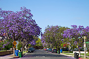 Jacaranda trees blooming along street in Culver City. Los Angeles, California