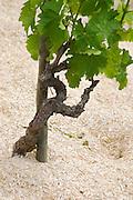 syrah gobelet training old vine mulch on the soil cornas rhone france